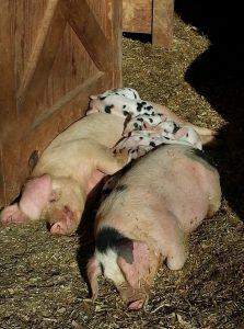 GOS Pigs